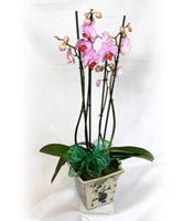 Orchid plant in a ceramic container